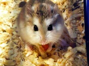 Hamsters in Spanish! ¿Eso qué es?